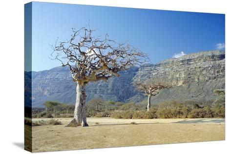 Myrrh Tree-Diccon Alexander-Stretched Canvas Print