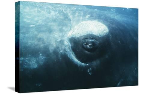 Southern Right Whale's Eye-Doug Allan-Stretched Canvas Print
