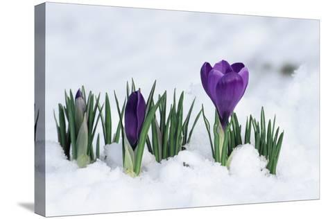 Crocus Flower In the Snow-David Aubrey-Stretched Canvas Print