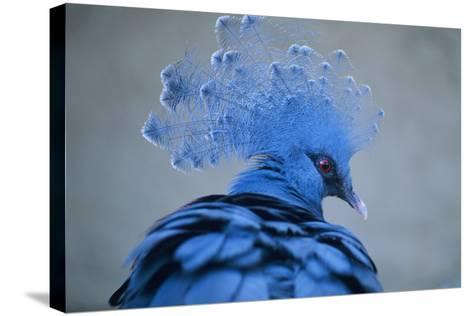 Victoria Crowned Pigeon-David Aubrey-Stretched Canvas Print