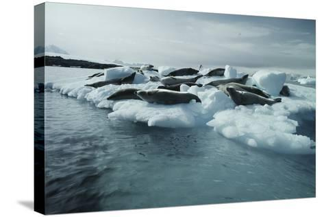 Crabeater Seals-Doug Allan-Stretched Canvas Print