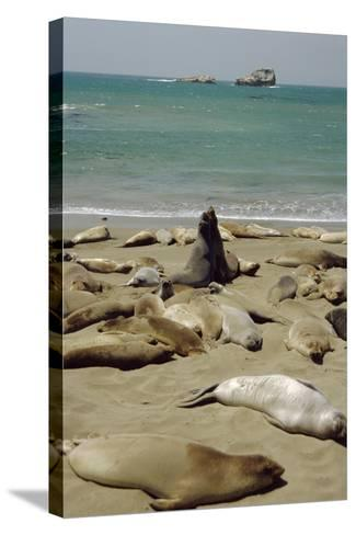 Northern Elephant Seals-Diccon Alexander-Stretched Canvas Print