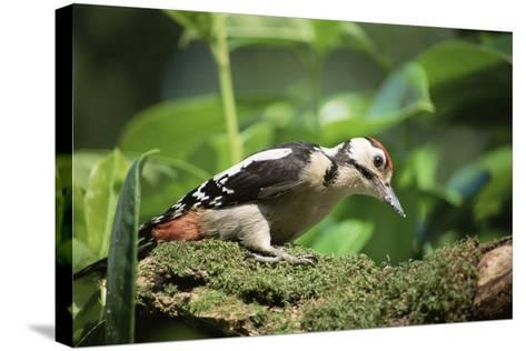 Great Spotted Woodpecker-David Aubrey-Stretched Canvas Print