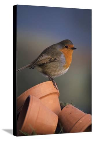 European Robin-David Aubrey-Stretched Canvas Print