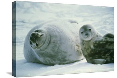 Weddell Seals-Doug Allan-Stretched Canvas Print