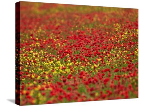 Field Poppy (Papaver Rhoeas)-Adrian Bicker-Stretched Canvas Print