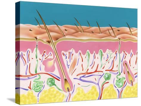 Skin Section-John Bavosi-Stretched Canvas Print