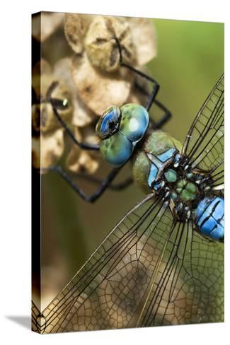 Male Emperor Dragonfly-Adrian Bicker-Stretched Canvas Print