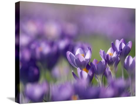 Crocus Tommasinianus-Adrian Bicker-Stretched Canvas Print