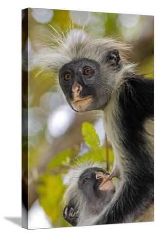 Zanzibar Red Colobus Monkeys-Tony Camacho-Stretched Canvas Print