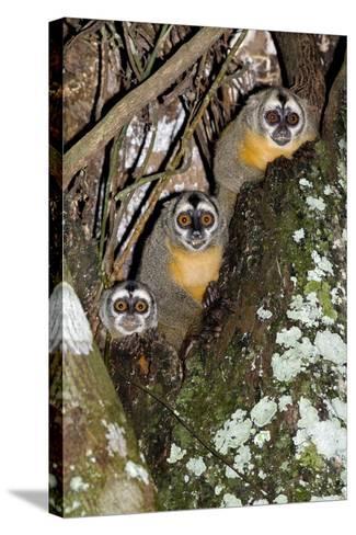 Three-striped Owl Monkeys-Tony Camacho-Stretched Canvas Print