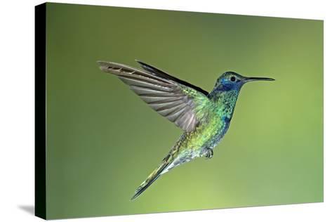 Sparkling Violetear Hummingbird-Tony Camacho-Stretched Canvas Print