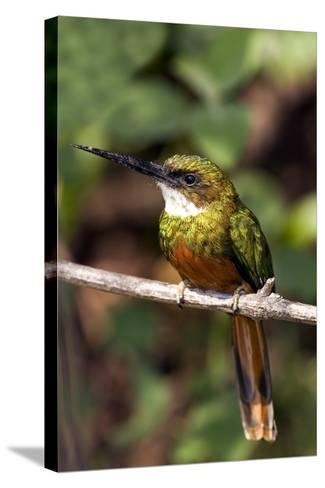 Rufous-tailed Jacamar Male-Tony Camacho-Stretched Canvas Print