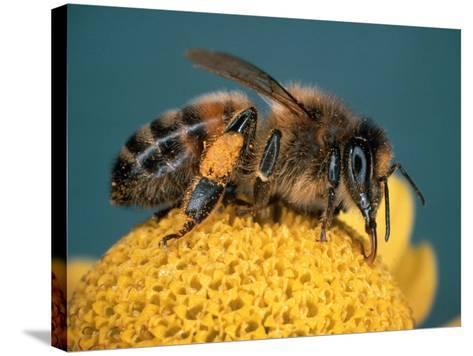 Honey Bee on Flower-Dr^ Jeremy-Stretched Canvas Print