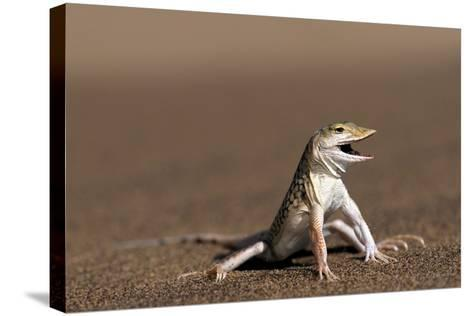 Namib Sand-diving Lizard-Tony Camacho-Stretched Canvas Print