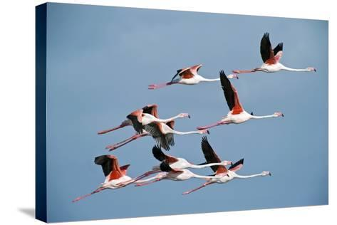 Greater Flamingoes-Tony Camacho-Stretched Canvas Print
