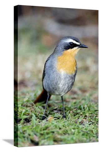 Cape Robin-chat-Peter Chadwick-Stretched Canvas Print