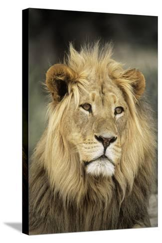 Male Lion-Peter Chadwick-Stretched Canvas Print