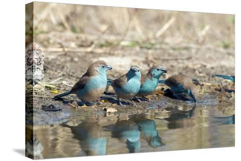 Blue Waxbills Drinking-Peter Chadwick-Stretched Canvas Print