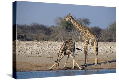 Giraffes-Peter Chadwick-Stretched Canvas Print