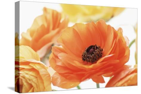 Persian Buttercup (Ranunculus Asiaticus)-Erika Craddock-Stretched Canvas Print