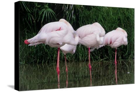 Greater Flamingos Sleeping-Tony Camacho-Stretched Canvas Print
