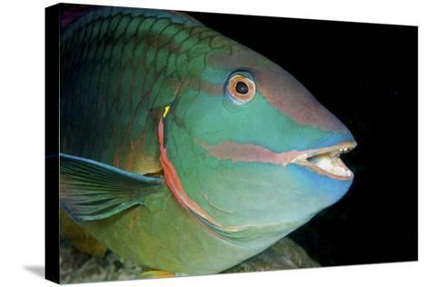 Stoplight Parrotfish-Clay Coleman-Stretched Canvas Print