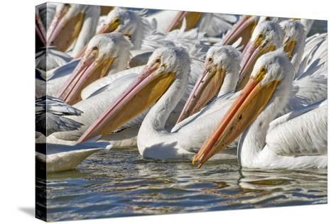 American White Pelicans-Clay Coleman-Stretched Canvas Print