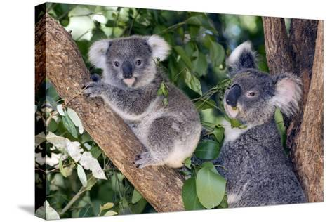 Mother Koala And Young-Tony Camacho-Stretched Canvas Print