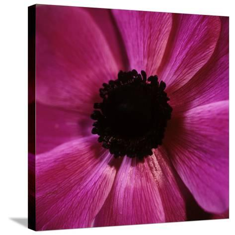 Anemone Flower (Anemone Sp.)-Cristina-Stretched Canvas Print