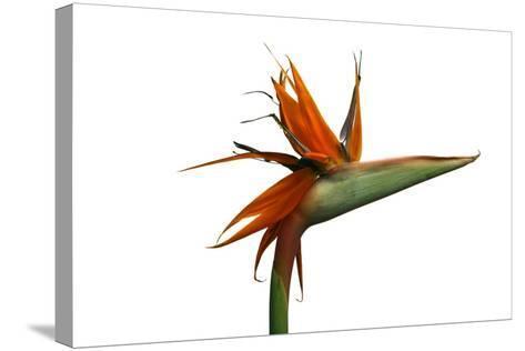 Bird of Paradise Flower-Victor De Schwanberg-Stretched Canvas Print