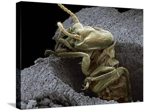 Termite Emerging From Wood, SEM-Steve Gschmeissner-Stretched Canvas Print