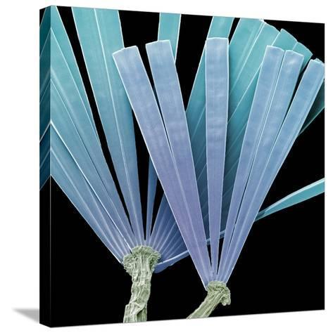Licmorpha Freshwater Diatom, SEM-Steve Gschmeissner-Stretched Canvas Print