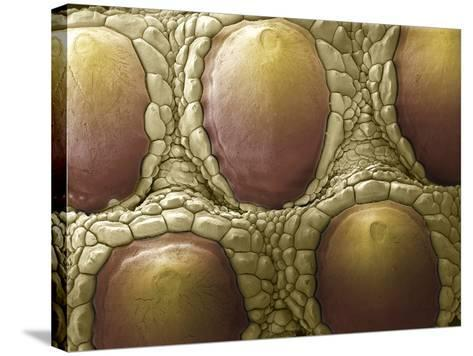 Komodo Dragon Skin, SEM-Steve Gschmeissner-Stretched Canvas Print