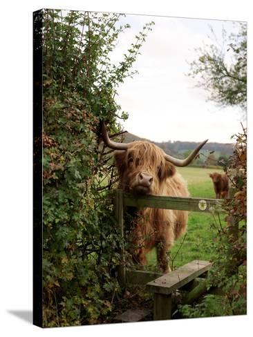 Highland Cow-Tek Image-Stretched Canvas Print