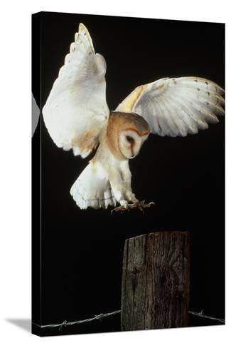Barn Owl-Andy Harmer-Stretched Canvas Print