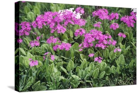 Primrose Flowers (Primula Patens)-Dr. Nick Kurzenko-Stretched Canvas Print