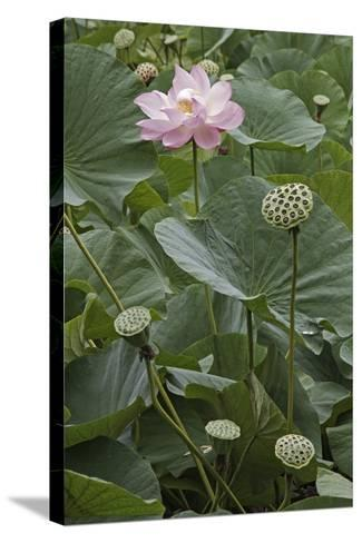 Sacred Lotus (Nelumbo Nucifera)-Dr. Nick Kurzenko-Stretched Canvas Print