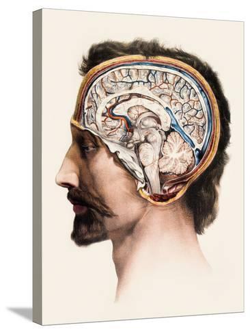 Brain Anatomy-Mehau Kulyk-Stretched Canvas Print