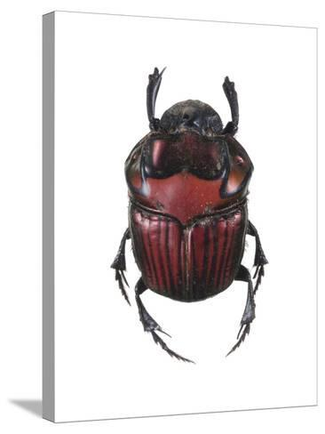 Phanaeus Dung Beetle-Lawrence Lawry-Stretched Canvas Print