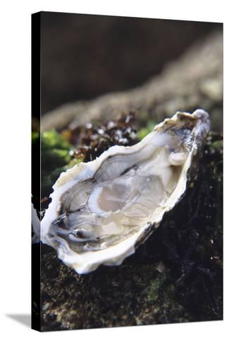 Oyster-Veronique Leplat-Stretched Canvas Print