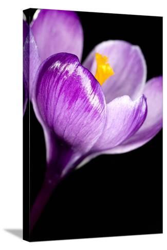 Crocus Flower (Crocus Sp.)-Lawrence Lawry-Stretched Canvas Print