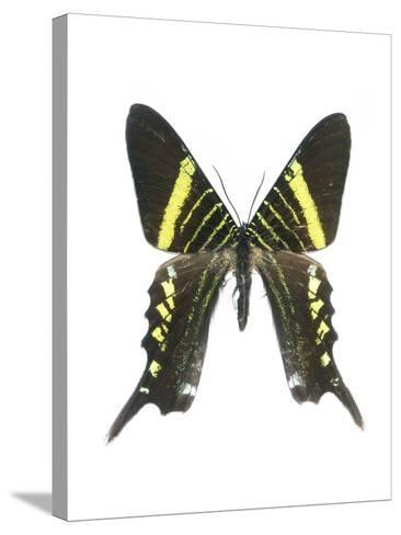 Urania Swallowtail Moth-Lawrence Lawry-Stretched Canvas Print