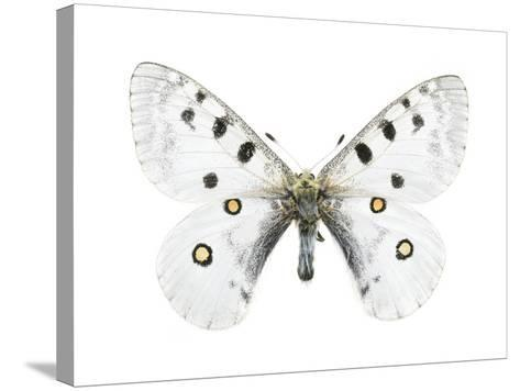 Mountain Apollo Butterfly-Lawrence Lawry-Stretched Canvas Print