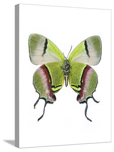 Crowned Hairstreak Butterfly-Lawrence Lawry-Stretched Canvas Print