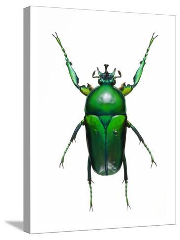 Neptunides Flower Beetle-Lawrence Lawry-Stretched Canvas Print