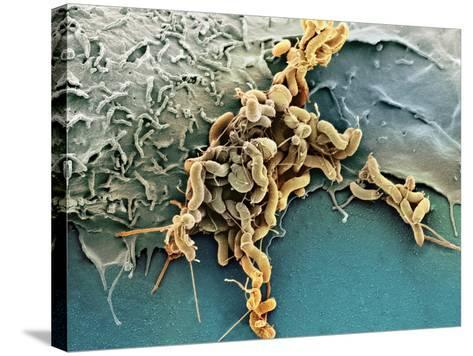 Helicobacter Pylori Bacteria, SEM-Science Photo Library-Stretched Canvas Print
