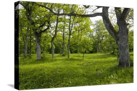 Ancient Wood Pasture, Estonia-Bob Gibbons-Stretched Canvas Print
