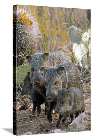 Family of Collared Peccaries-Bob Gibbons-Stretched Canvas Print