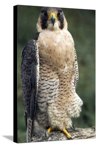 Peregrine Falcon-Bob Gibbons-Stretched Canvas Print